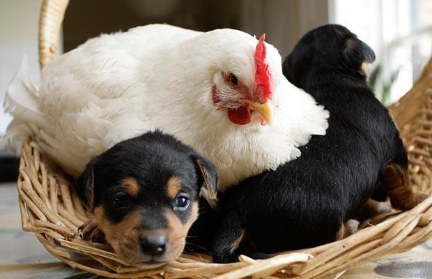 Vừa gà vừa chó, bó lại cho tròn, ba mươi sáu con, một trăm chân chẵn. Hỏi mấy gà, mấy chó?